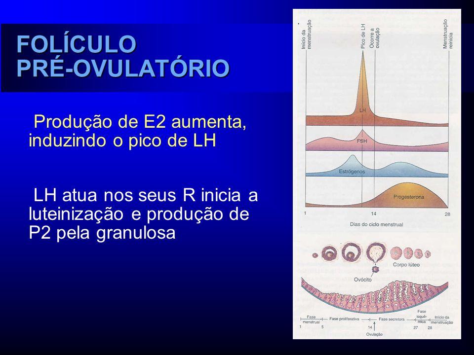 FOLÍCULO PRÉ-OVULATÓRIO Produção de E2 aumenta, induzindo o pico de LH LH atua nos seus R inicia a luteinização e produção de P2 pela granulosa