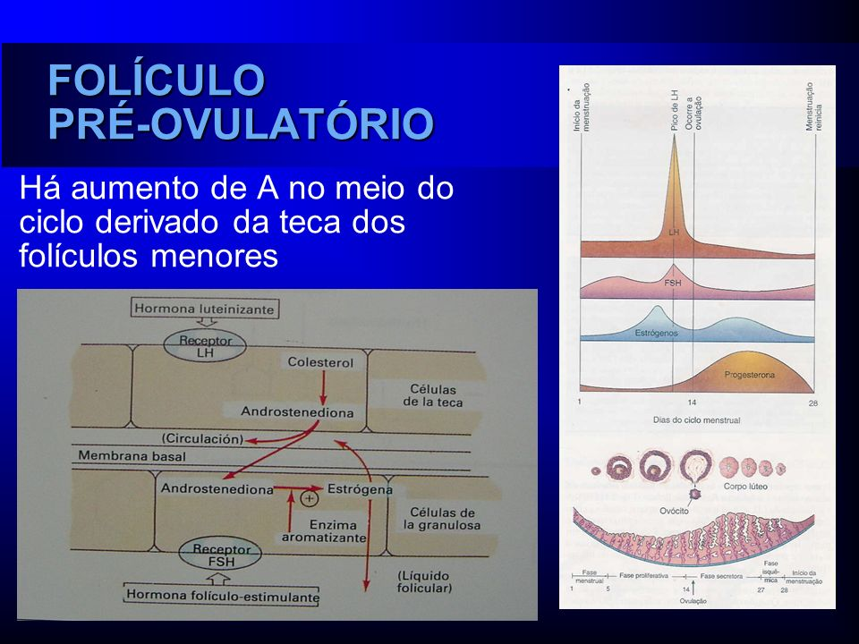 FOLÍCULO PRÉ-OVULATÓRIO Há aumento de A no meio do ciclo derivado da teca dos folículos menores