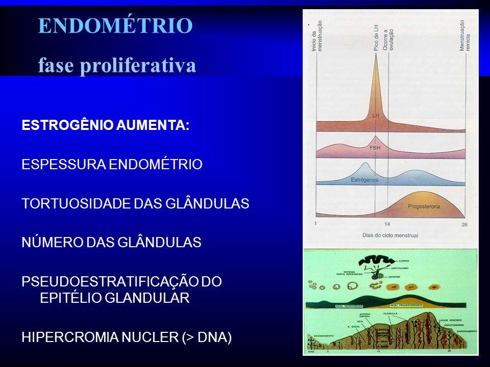 ENDOMÉTRIO fase proliferativa ESTROGÊNIO AUMENTA: ESPESSURA ENDOMÉTRIO TORTUOSIDADE DAS GLÂNDULAS NÚMERO DAS GLÂNDULAS PSEUDOESTRATIFICAÇÃO DO EPITÉLI