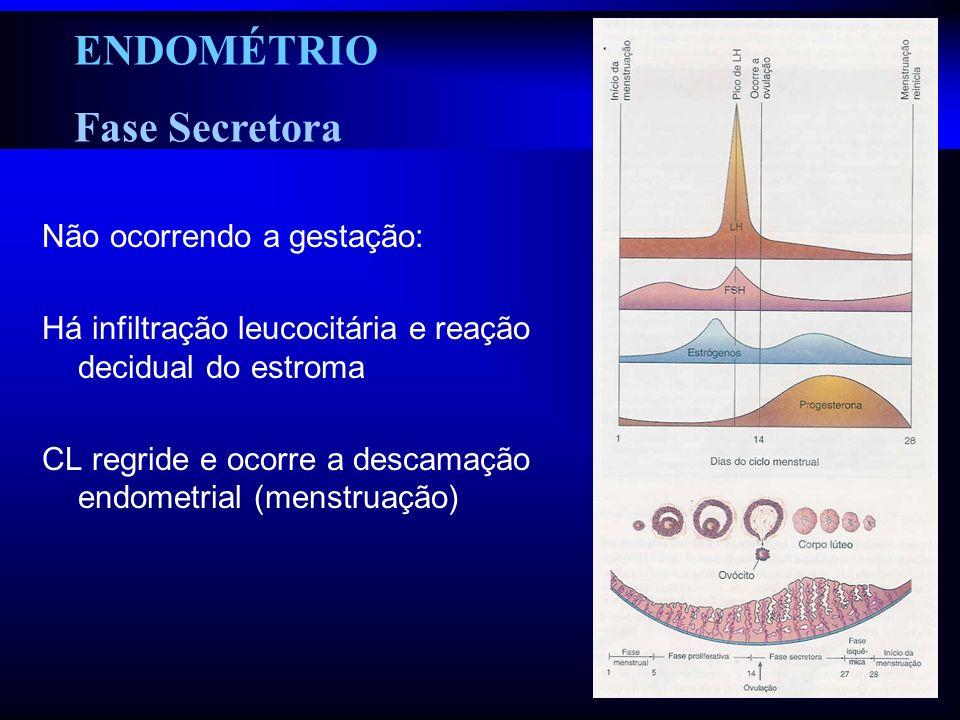 Não ocorrendo a gestação: Há infiltração leucocitária e reação decidual do estroma CL regride e ocorre a descamação endometrial (menstruação) ENDOMÉTR