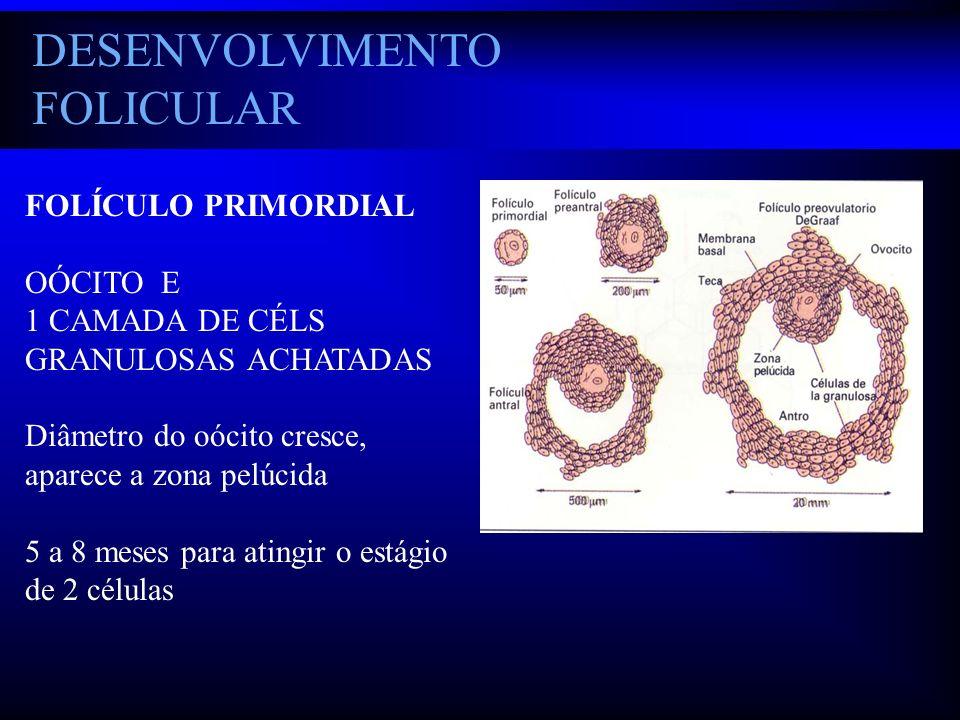 DESENVOLVIMENTO FOLICULAR FOLÍCULO PRIMORDIAL OÓCITO E 1 CAMADA DE CÉLS GRANULOSAS ACHATADAS Diâmetro do oócito cresce, aparece a zona pelúcida 5 a 8