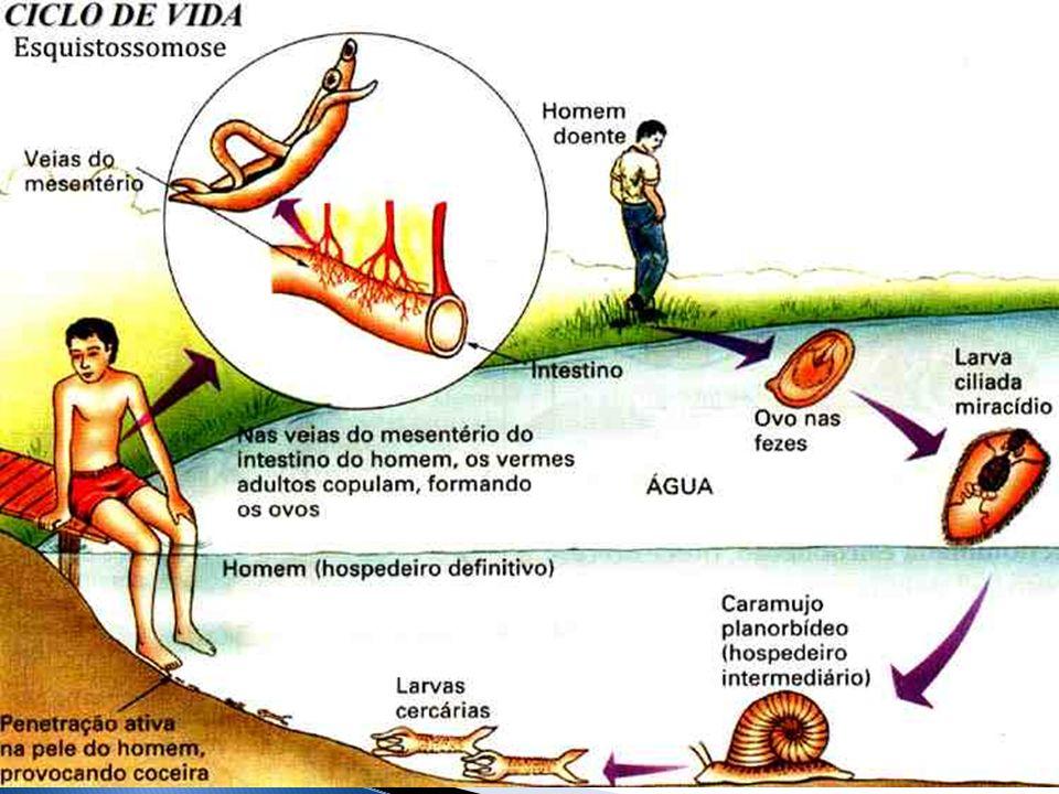 Período de incubação 1 a 2 meses após infecção Homem transmite à partir de 5 semanas – 10 a 20 anos HI 4 a 7 semanas da infecção pelo miracídios – cercária Caramujo transmite por toda sua vida