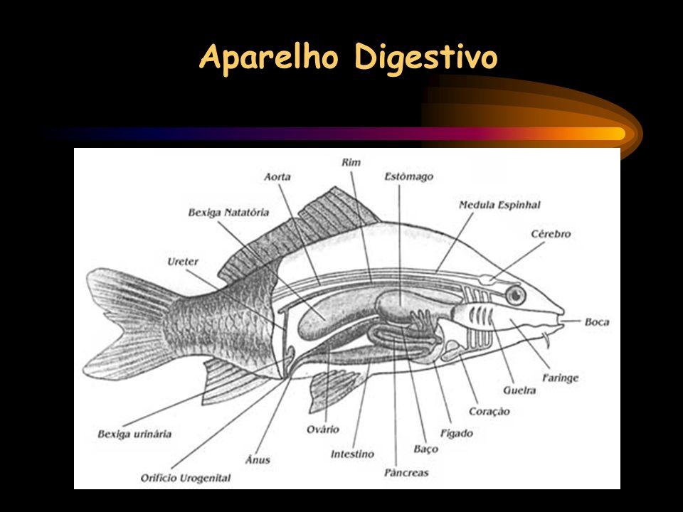 Aparelho Digestivo