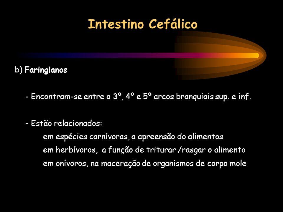 Intestino Cefálico b) Faringianos - Encontram-se entre o 3º, 4º e 5º arcos branquiais sup. e inf. - Estão relacionados: em espécies carnívoras, a apre