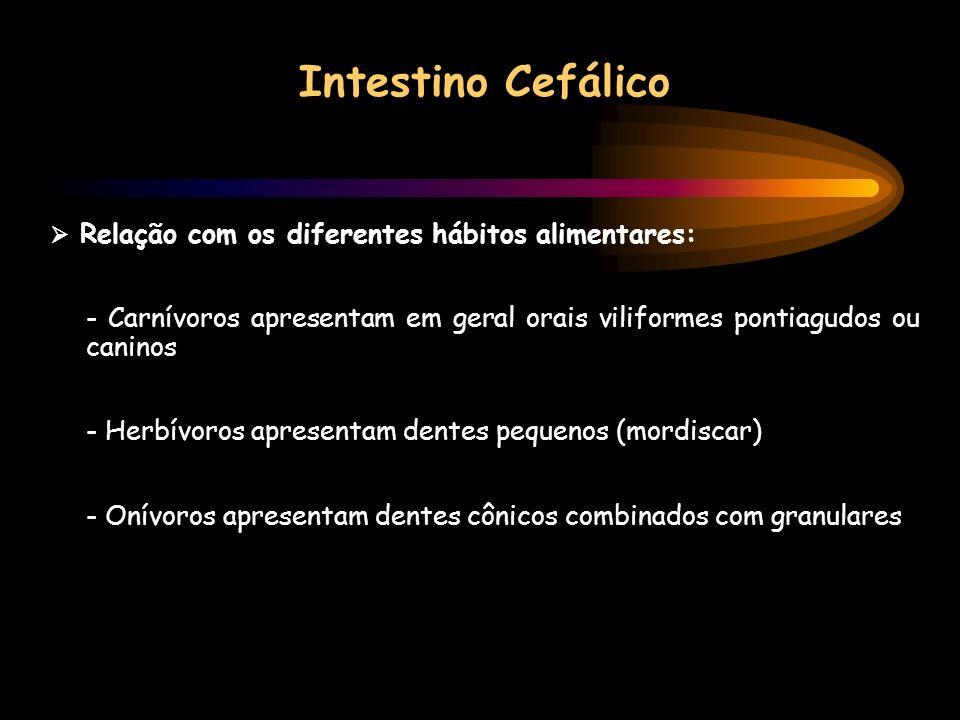 Intestino Cefálico Relação com os diferentes hábitos alimentares: - Carnívoros apresentam em geral orais viliformes pontiagudos ou caninos - Herbívoro