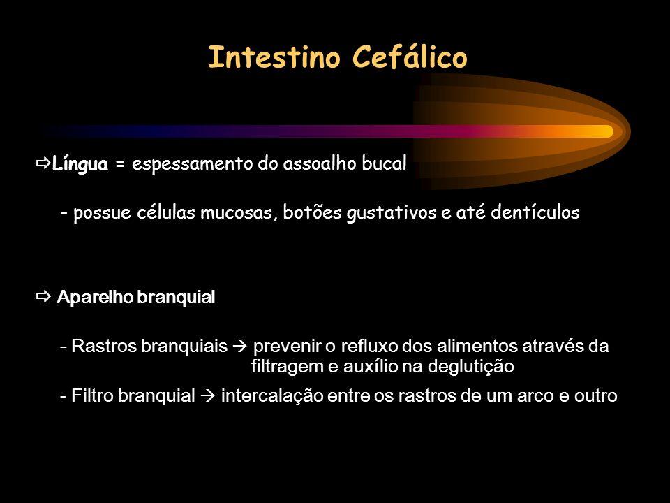 Intestino Cefálico Língua = espessamento do assoalho bucal - possue células mucosas, botões gustativos e até dentículos Aparelho branquial - Rastros b