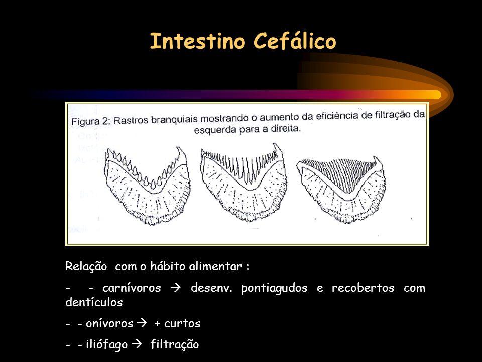 Intestino Cefálico Relação com o hábito alimentar : - - carnívoros desenv. pontiagudos e recobertos com dentículos - - onívoros + curtos - - iliófago