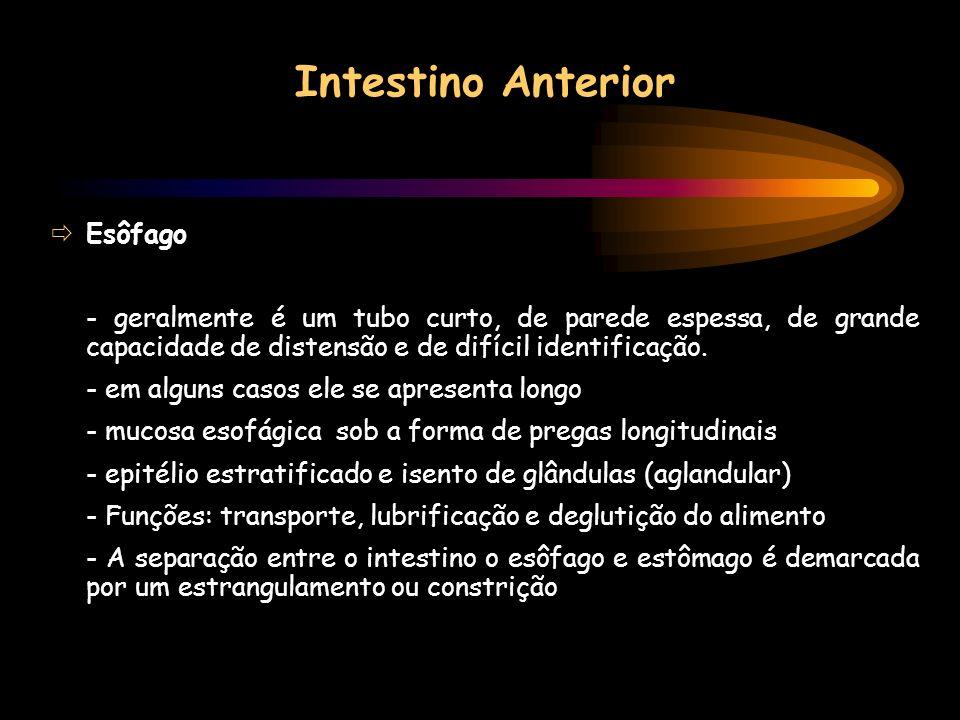 Intestino Anterior Esôfago - geralmente é um tubo curto, de parede espessa, de grande capacidade de distensão e de difícil identificação. - em alguns