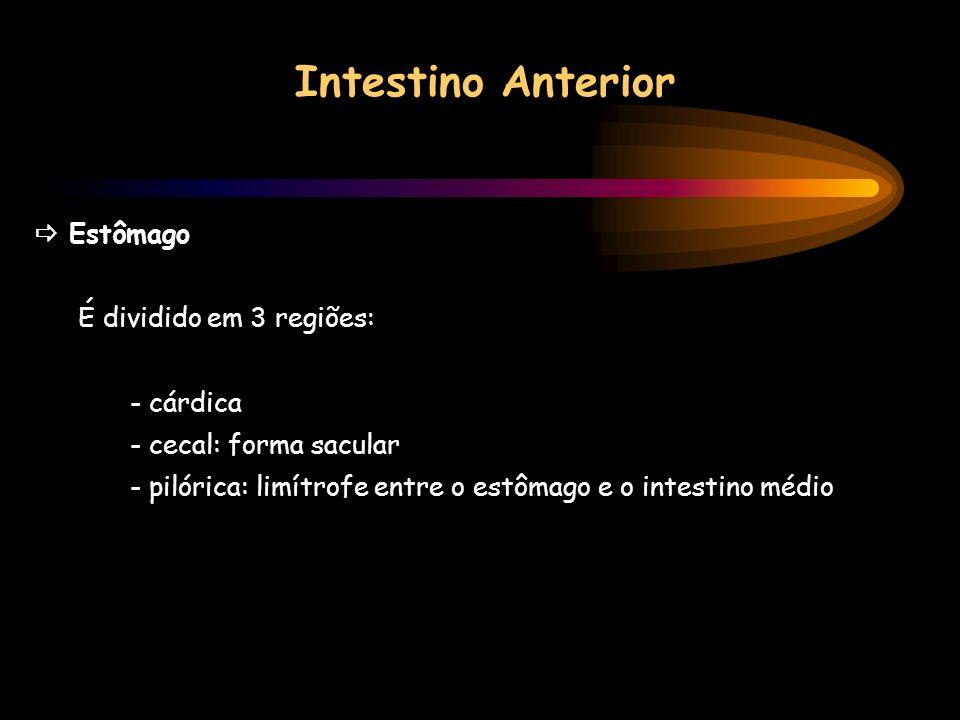 Intestino Anterior Estômago É dividido em 3 regiões: - cárdica - cecal: forma sacular - pilórica: limítrofe entre o estômago e o intestino médio