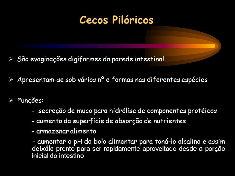 Cecos Pilóricos São evaginações digiformes da parede intestinal Apresentam-se sob vários nº e formas nas diferentes espécies Funções: - secreção de mu