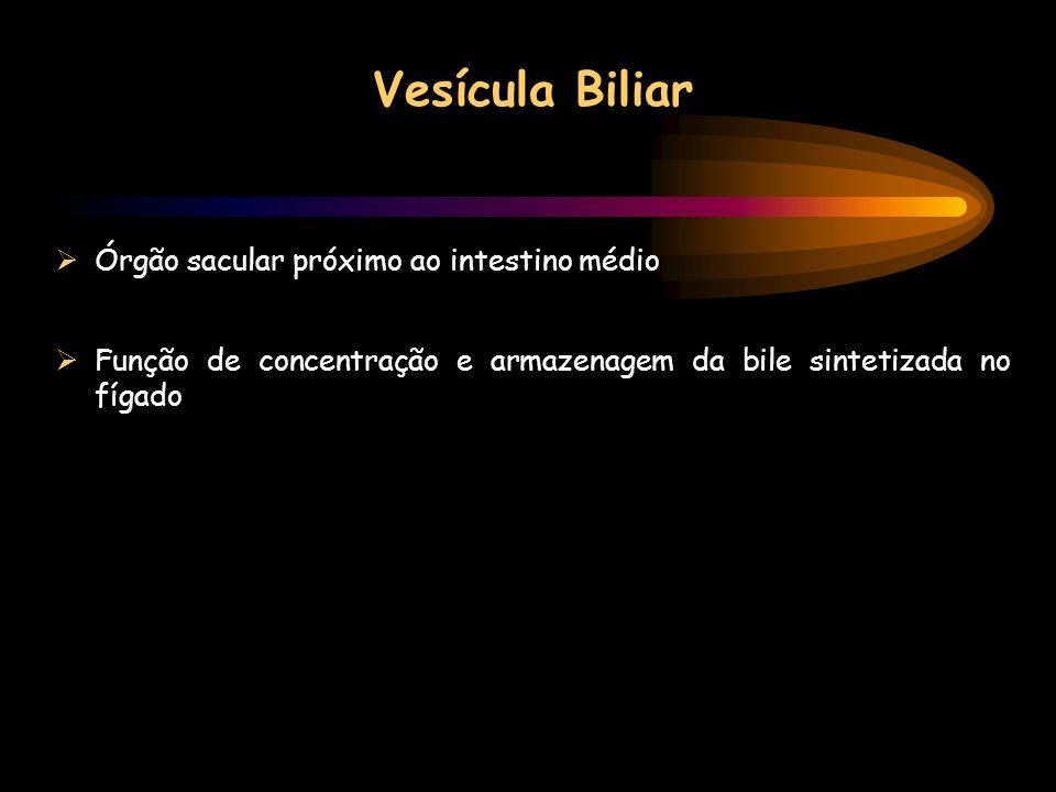 Vesícula Biliar Órgão sacular próximo ao intestino médio Função de concentração e armazenagem da bile sintetizada no fígado