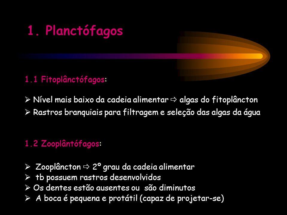 1.1 Fitoplânctófagos: Nível mais baixo da cadeia alimentar algas do fitoplâncton Rastros branquiais para filtragem e seleção das algas da água 1.2 Zoo