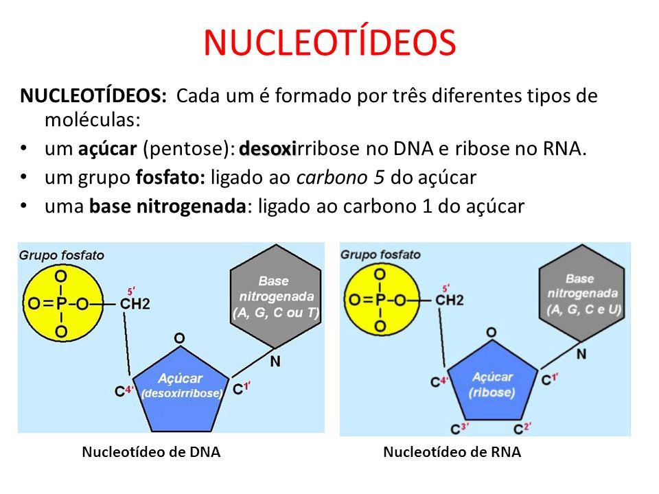 NUCLEOTÍDEOS: Cada um é formado por três diferentes tipos de moléculas: desoxi um açúcar (pentose): desoxirribose no DNA e ribose no RNA. um grupo fos
