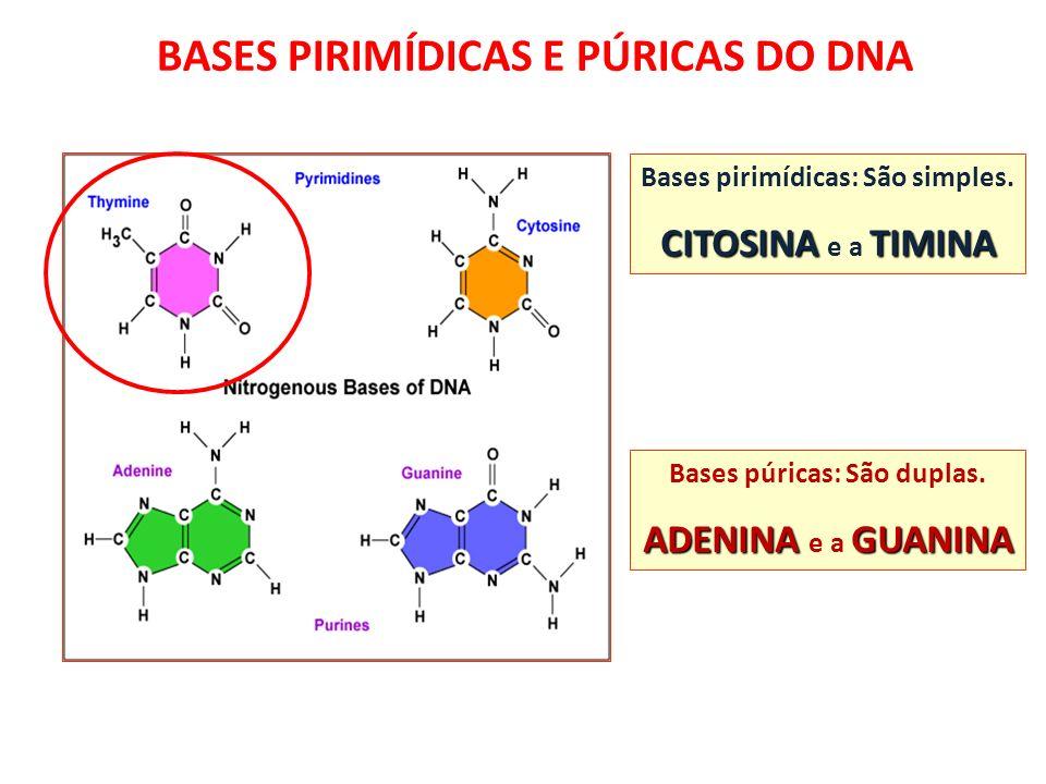 BASES PÚRICAS E PIRIMÍDICAS Bases pirimídicas: São simples. CITOSINATIMINA CITOSINA e a TIMINA Bases púricas: São duplas. ADENINAGUANINA ADENINA e a G
