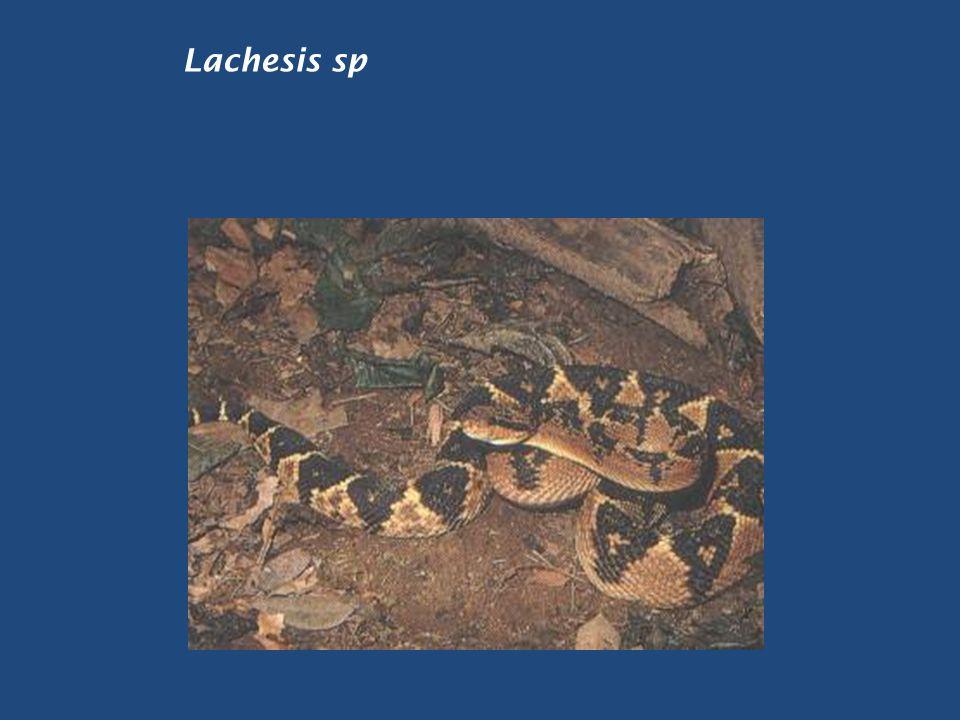 Lachesis sp