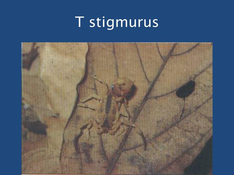 T stigmurus