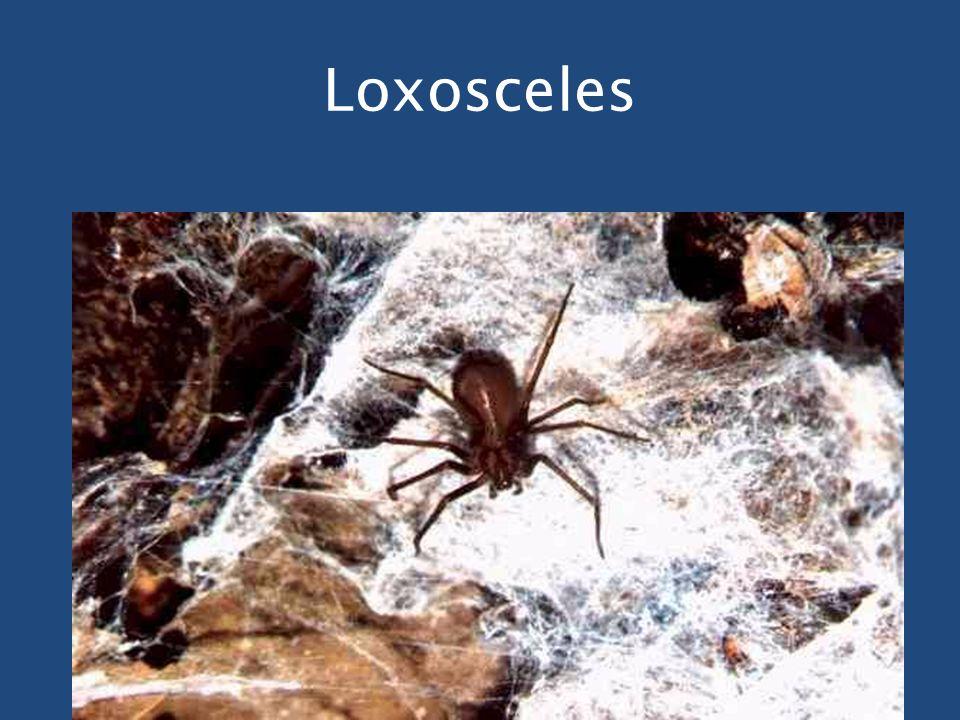 Loxosceles
