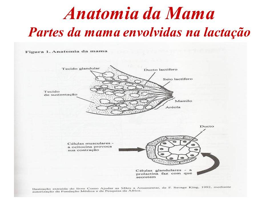 A produção do leite materno Durante a gravidez – 2º trimestre – tecido glandular das mamas inicia a produção do colostro.