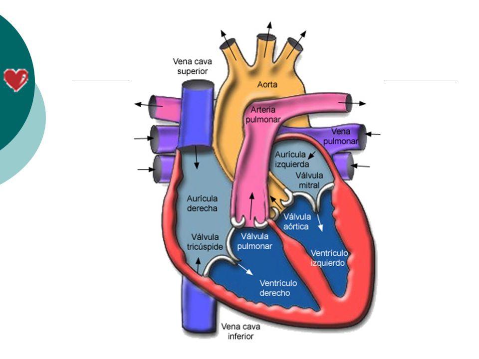 Qual a importância do Coração.