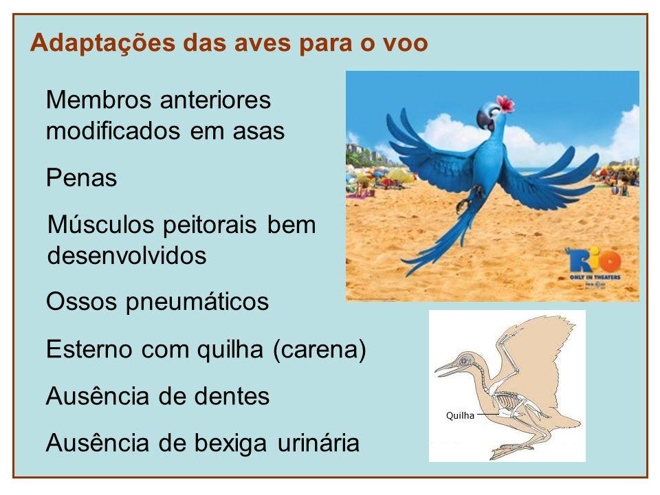 Adaptações das aves para o voo Membros anteriores modificados em asas Penas Ossos pneumáticos Ausência de dentes Ausência de bexiga urinária Músculos