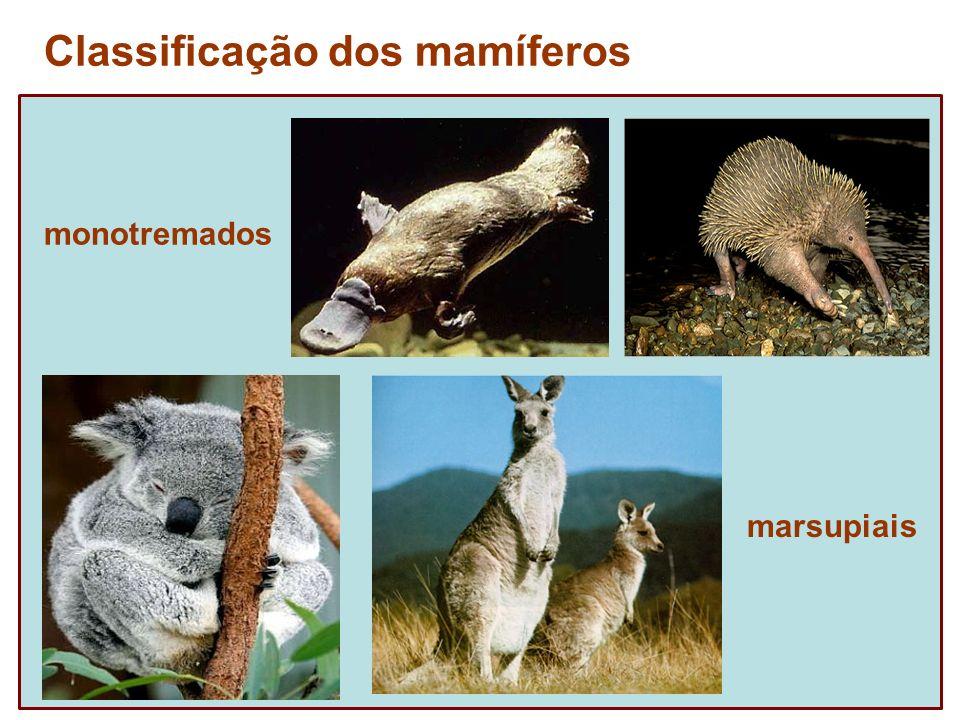 monotremados Classificação dos mamíferos marsupiais