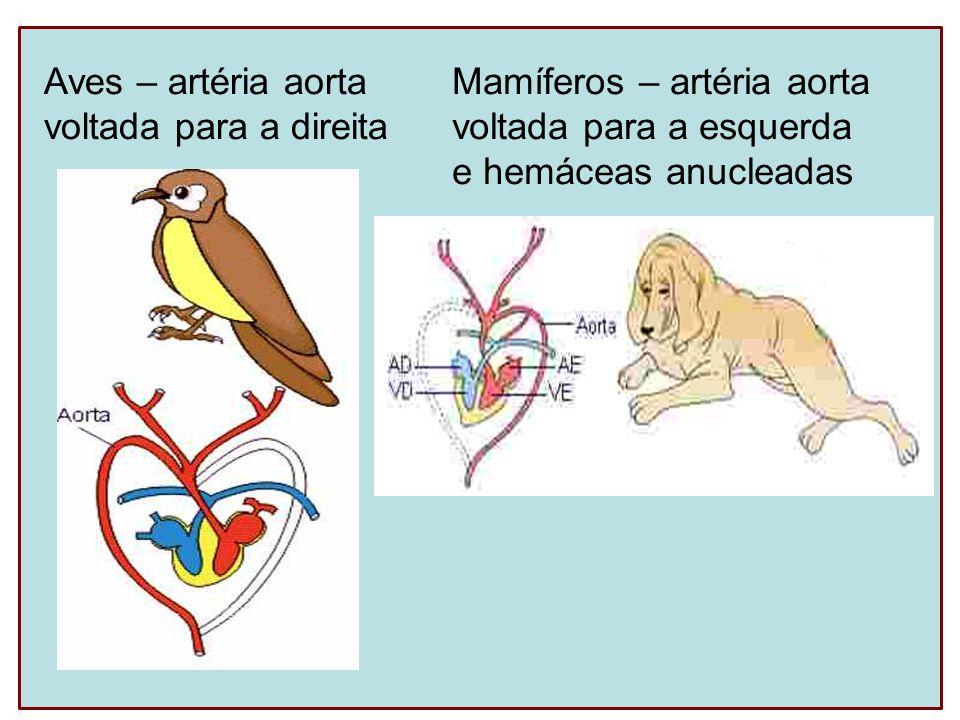 Aves – artéria aorta voltada para a direita Mamíferos – artéria aorta voltada para a esquerda e hemáceas anucleadas