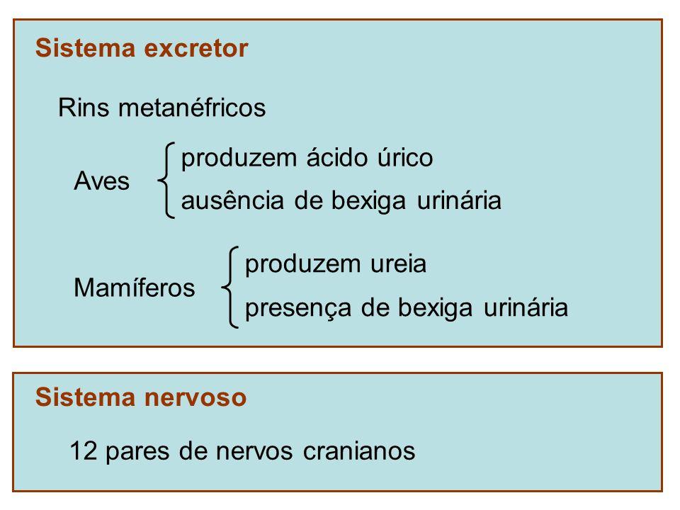 Sistema excretor Rins metanéfricos Sistema nervoso 12 pares de nervos cranianos Aves produzem ácido úrico ausência de bexiga urinária Mamíferos produz