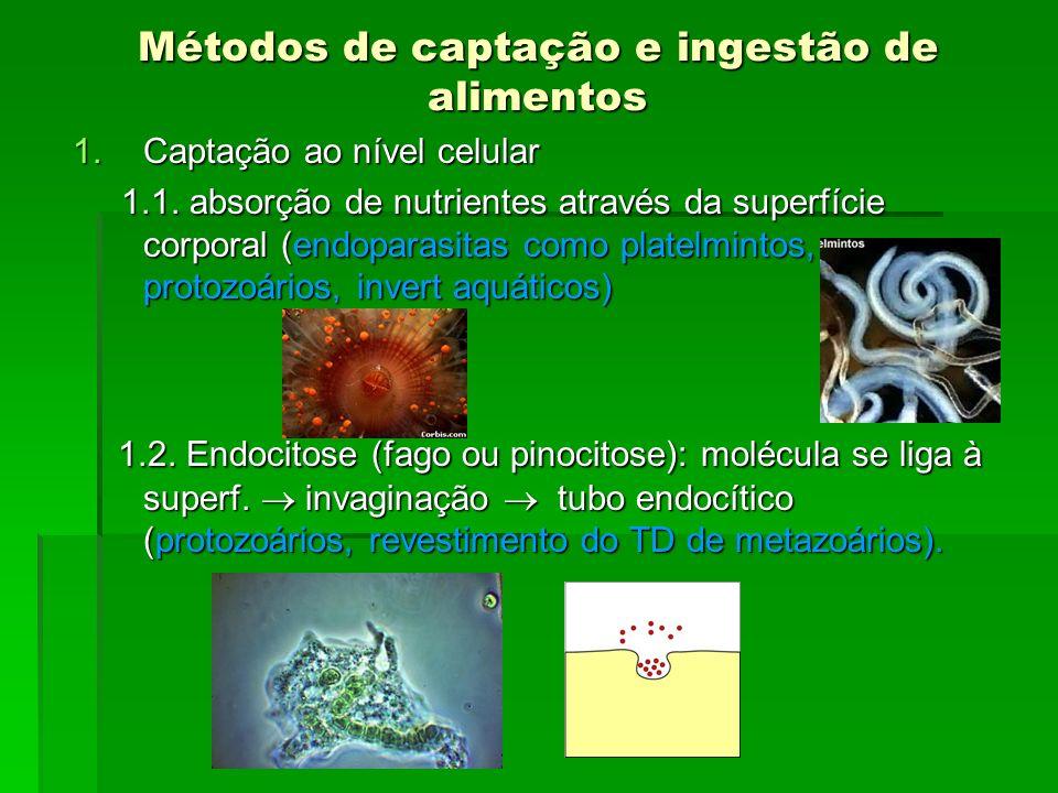 Métodos de captação e ingestão de alimentos 1.Captação ao nível celular 1.1. absorção de nutrientes através da superfície corporal (endoparasitas como