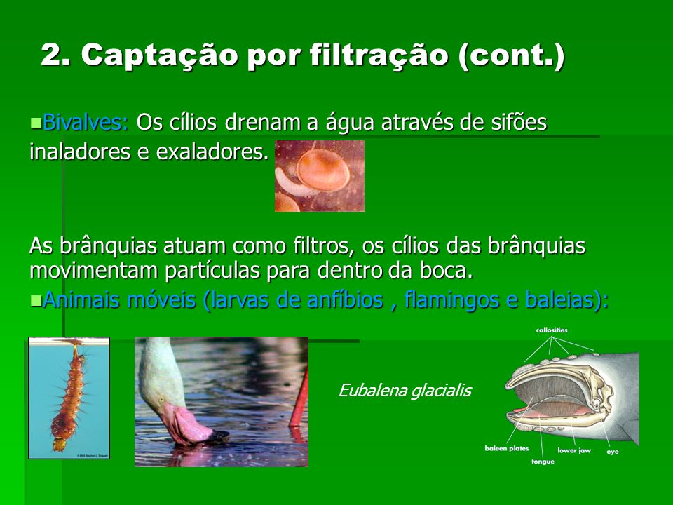 Bivalves: Os cílios drenam a água através de sifões Bivalves: Os cílios drenam a água através de sifões inaladores e exaladores. As brânquias atuam co