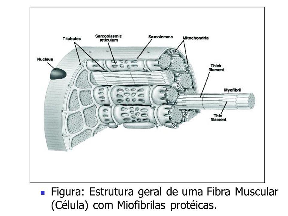 Figura: Estrutura geral de uma Fibra Muscular (Célula) com Miofibrilas protéicas.