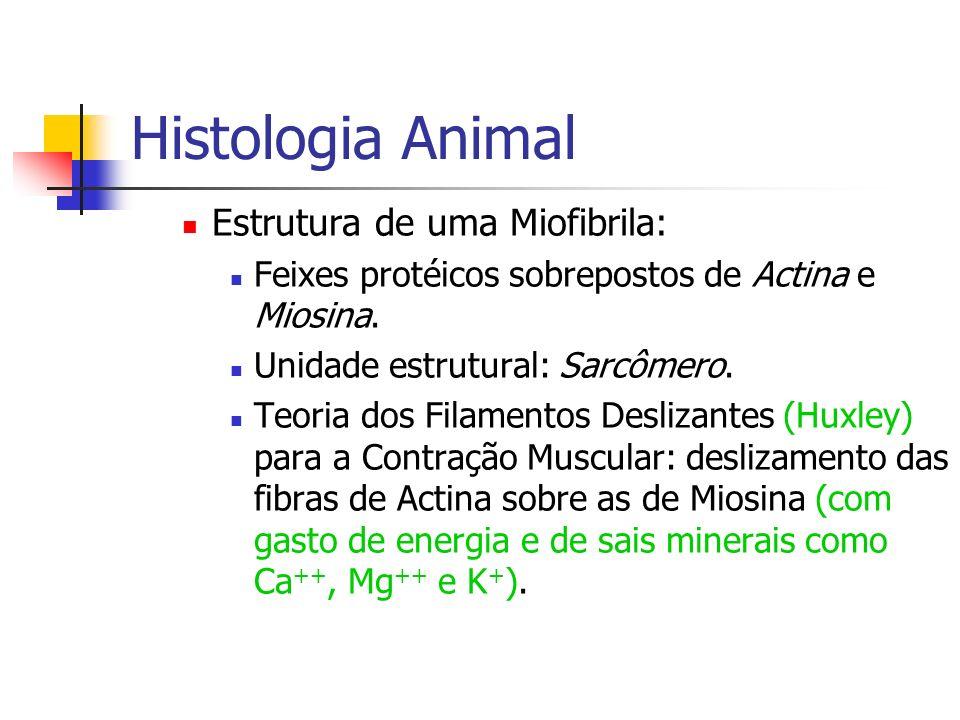 Histologia Animal Estrutura de uma Miofibrila: Feixes protéicos sobrepostos de Actina e Miosina. Unidade estrutural: Sarcômero. Teoria dos Filamentos