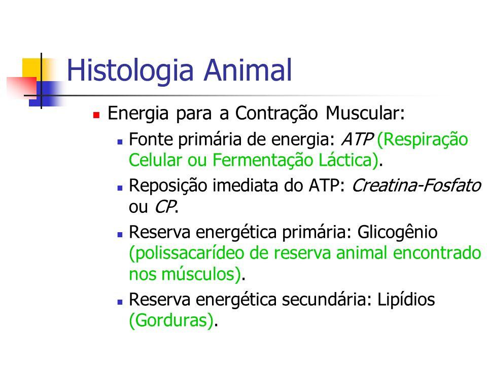 Histologia Animal Energia para a Contração Muscular: Fonte primária de energia: ATP (Respiração Celular ou Fermentação Láctica). Reposição imediata do