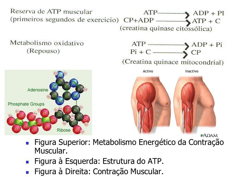 Figura Superior: Metabolismo Energético da Contração Muscular. Figura à Esquerda: Estrutura do ATP. Figura à Direita: Contração Muscular.