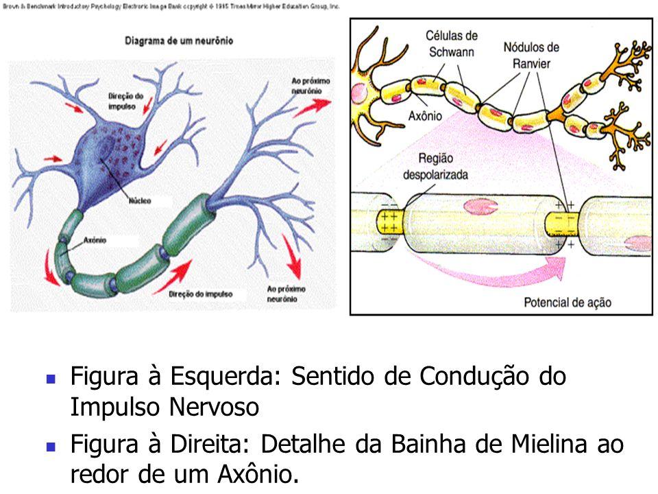 Figura à Esquerda: Sentido de Condução do Impulso Nervoso Figura à Direita: Detalhe da Bainha de Mielina ao redor de um Axônio.