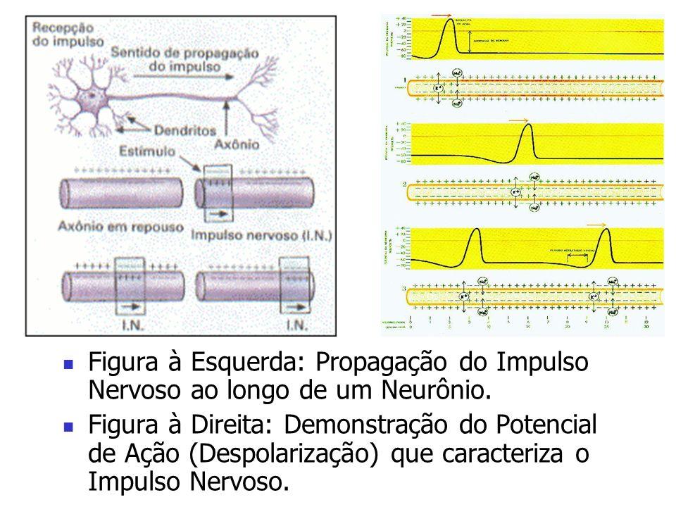 Figura à Esquerda: Propagação do Impulso Nervoso ao longo de um Neurônio. Figura à Direita: Demonstração do Potencial de Ação (Despolarização) que car