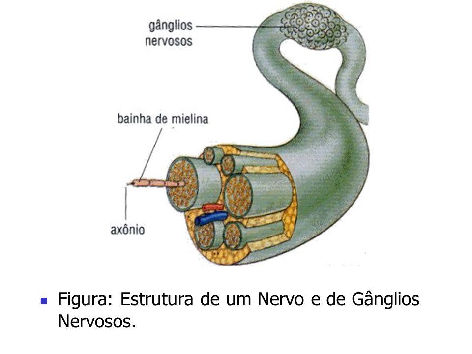 Figura: Estrutura de um Nervo e de Gânglios Nervosos.