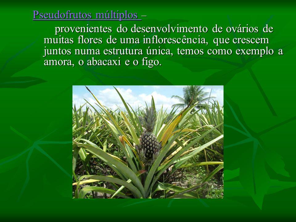 Pseudofrutos múltiplos Pseudofrutos múltiplos – Pseudofrutos múltiplos provenientes do desenvolvimento de ovários de muitas flores de uma inflorescênc