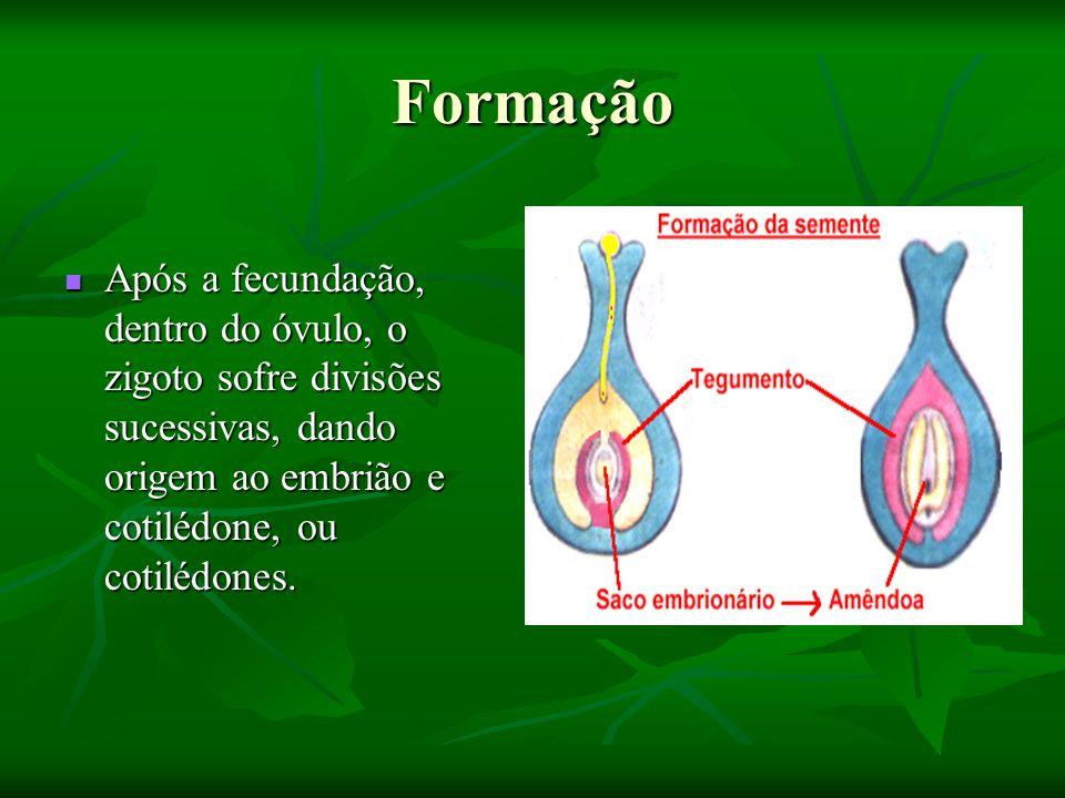 Formação Após a fecundação, dentro do óvulo, o zigoto sofre divisões sucessivas, dando origem ao embrião e cotilédone, ou cotilédones. Após a fecundaç