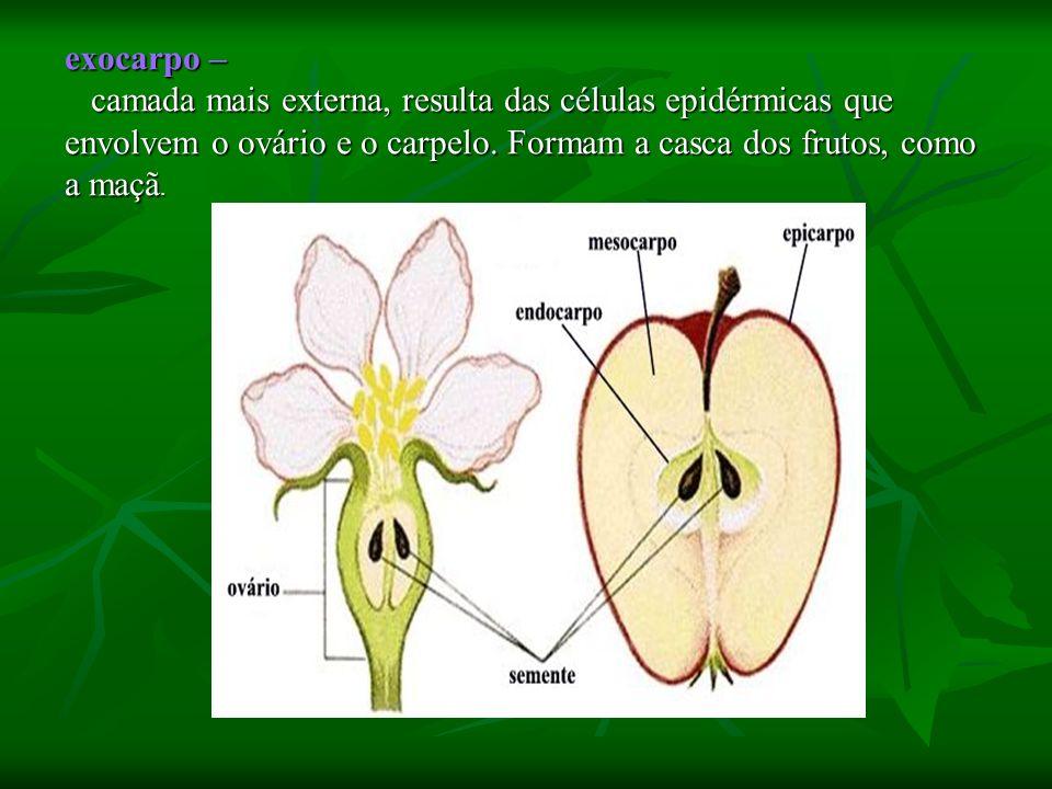exocarpo – camada mais externa, resulta das células epidérmicas que envolvem o ovário e o carpelo. Formam a casca dos frutos, como a maçã. camada mais