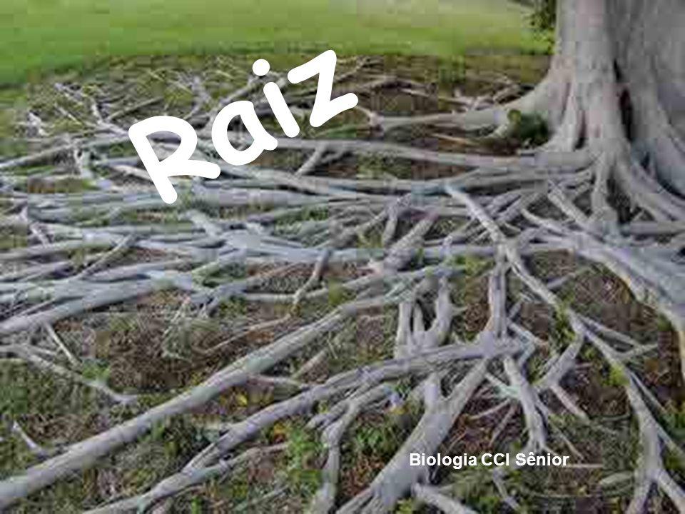 Anatomia das Raízes Estrutura primária das raízes