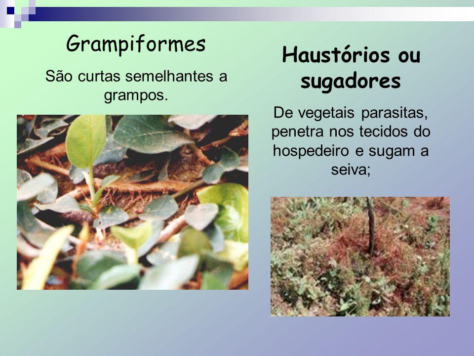Grampiformes São curtas semelhantes a grampos. Haustórios ou sugadores De vegetais parasitas, penetra nos tecidos do hospedeiro e sugam a seiva;