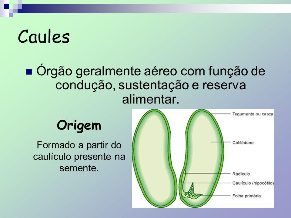 Órgão geralmente aéreo com função de condução, sustentação e reserva alimentar. Origem Formado a partir do caulículo presente na semente.