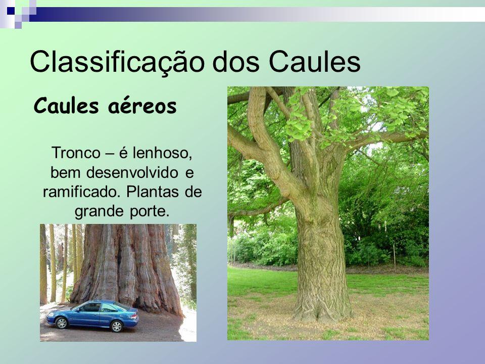 Classificação dos Caules Caules aéreos Tronco – é lenhoso, bem desenvolvido e ramificado. Plantas de grande porte.