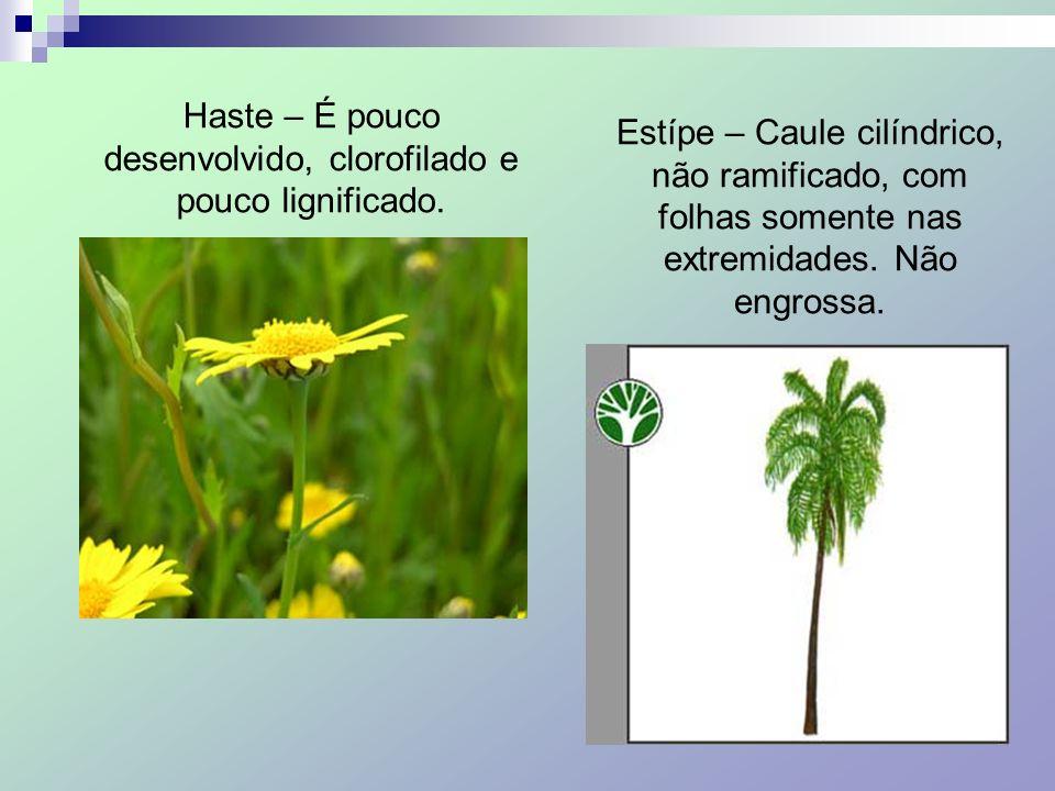 Haste – É pouco desenvolvido, clorofilado e pouco lignificado. Estípe – Caule cilíndrico, não ramificado, com folhas somente nas extremidades. Não eng
