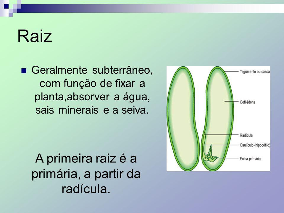 Raiz Geralmente subterrâneo, com função de fixar a planta,absorver a água, sais minerais e a seiva. A primeira raiz é a primária, a partir da radícula