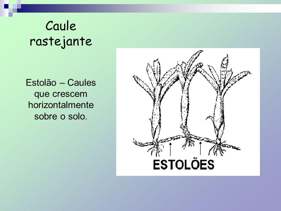 Caule rastejante Estolão – Caules que crescem horizontalmente sobre o solo.
