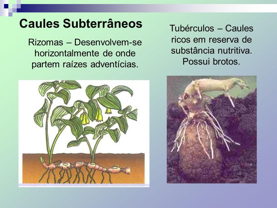 Caules Subterrâneos Rizomas – Desenvolvem-se horizontalmente de onde partem raízes adventícias. Tubérculos – Caules ricos em reserva de substância nut