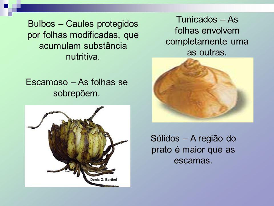 Bulbos – Caules protegidos por folhas modificadas, que acumulam substância nutritiva. Escamoso – As folhas se sobrepõem. Tunicados – As folhas envolve