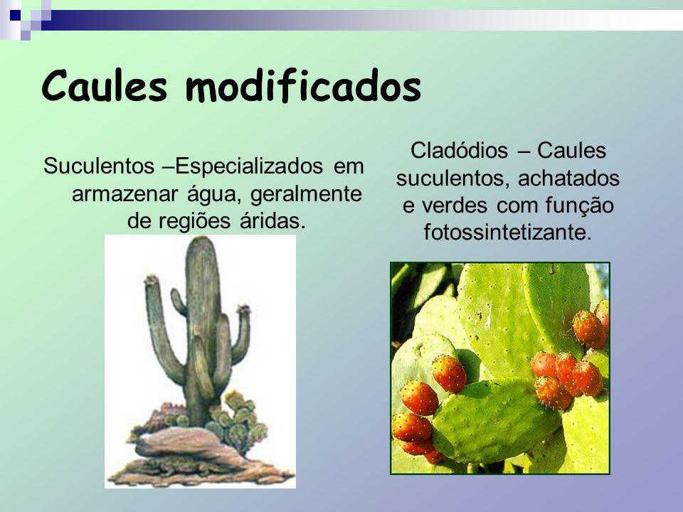 Caules modificados Suculentos –Especializados em armazenar água, geralmente de regiões áridas. Cladódios – Caules suculentos, achatados e verdes com f