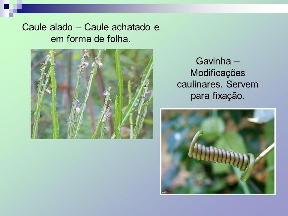 Caule alado – Caule achatado e em forma de folha. Gavinha – Modificações caulinares. Servem para fixação.